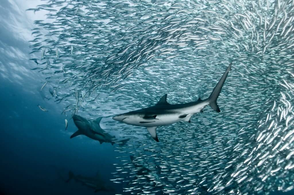 plongee-requins